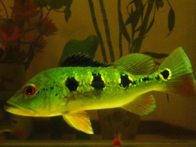 Peacock Bass - Cichla Orinocensis