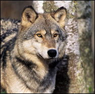 Save the Grey Wolves