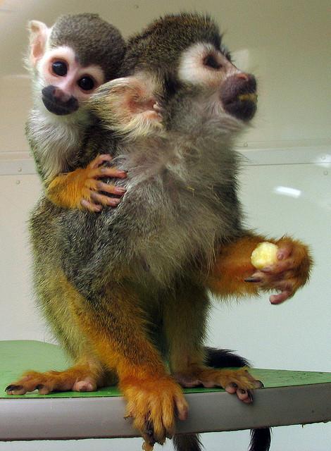 Squirrel Monkey Pet At...