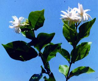 Kacapiring ( Jasminum sambac )
