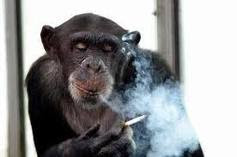 monyet gaul