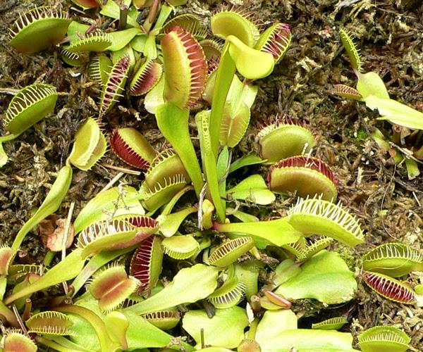 Je biosph re plantes carnivores for Plante carnivore 01