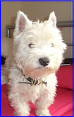 Alfie, my Westie Boy!