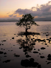 Lone mangrove at sunset