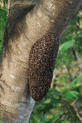 swarm of wild bees, Subic Bay, Philippines