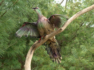 Evidences of Organic Evolution archaeopteryx