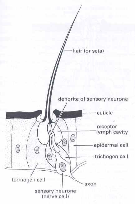 Bersama bisa derivat epidermis jaringan tumbuhan trikoma adalah alat tambahan pada epidermis yang berupa tonjolanrambut dijumpai pada seluruh organ daun batang bunga buah akar ccuart Choice Image