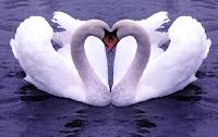 Swan Valentine Cards