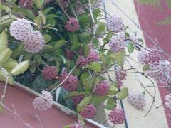 Flor da cera