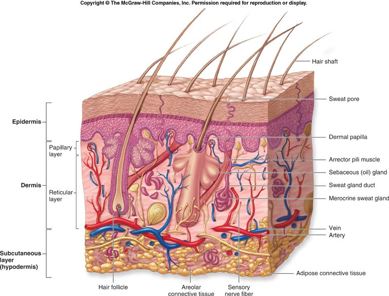 Body Regions :)): Integumentary System :DD