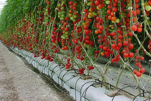 Hidroponia cultivo for Sustrato para mesa de cultivo