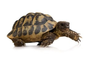 slow turtle 300x196 Questions About Your Sluggish Metabolism?