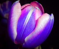 Digitaly modified photograph of a tulip