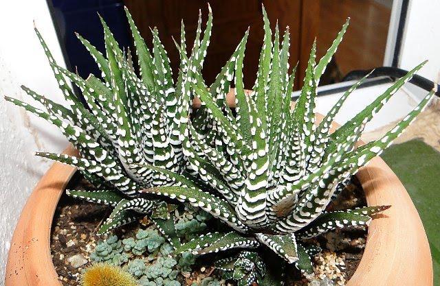 floraciones en m laga y m s cactus y suculentas 3