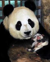 Dão á luz uma vez por ano, maioria das vezes apenas 2 crias, uma das razões da sua quase extinção!