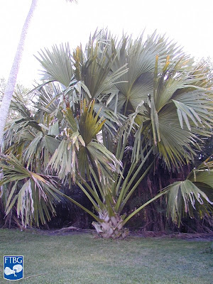 talipot palm at Fairchild