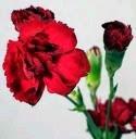 Trago um cravo no peito, vermelho amor-perfeito...