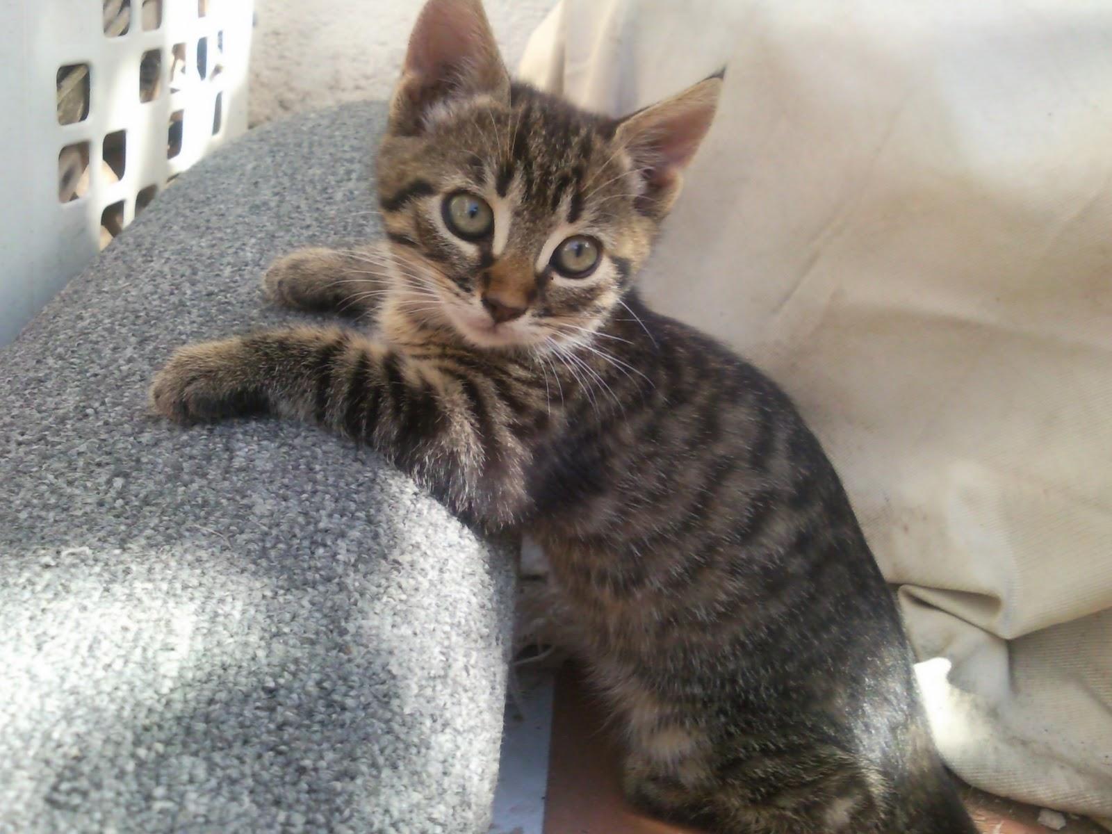 Global defensa gats gatitos de mes y medio en adopci n - Gatitos de un mes ...
