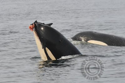 an overview of the anatomy and habitat of killer whales Key words: killer whale, orcinus orca, epaulard, canada, british columbia,  status, cetacean,  review has been undertaken on behalf of the fish and marine  mammal  travel patterns/habitat use (heimlich-boran 1988 morton 1990 baird  and dill 1995a)  reproductive output, rather than effects of pod size or structure.