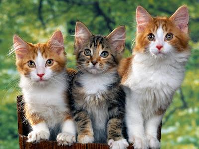 cat wallpaper kucing angora persian black cute
