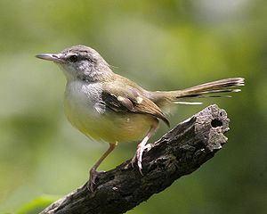 Kenari: Memaster Kenari Dengan Suara Burung Ciblek: Men