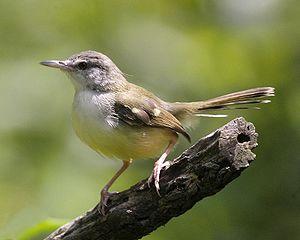 ... : Memaster Kenari Dengan Suara Burung Ciblek: Menju