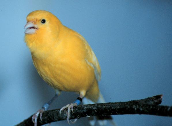 Foto Burung Kenari