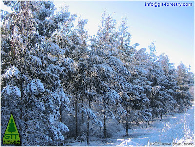 Snow in a 5 year old cold hardy Eucalyptus nitens timber plantation at 600 m above sea level in Galicia (Northwestern Spain)/ Nieve en plantacion de Eucalipto nitens (Eucalipto de las heladas, Eucalipto brillante) a 600 metros de altitud en Galicia (Noroeste de España) / Gustavo Iglesias Trabado / GIT Forestry Consulting, Consultoría y Servicios de Ingeniería Agroforestal, Lugo, Galicia, España, Spain / Eucalyptologics: Information Resources on Eucalyptus Cultivation Worldwide / Eucaliptologics: Recursos de Informacion sobre el Cultivo del Eucalipto en el Mundo