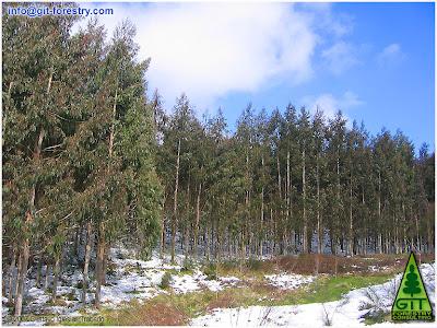 Snow in a 7 year old cold hardy Eucalyptus nitens timber plantation at 750 m above sea level in Galicia (Northwestern Spain)/ Nieve en plantacion de 7 años de Eucalipto nitens (Eucalipto de las heladas, Eucalipto brillante) a 750 metros de altitud en Galicia (Noroeste de España) / GIT Forestry Consulting, Consultoría y Servicios de Ingeniería Agroforestal, Lugo, Galicia, España, Spain