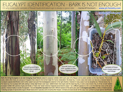 Eucalyptus species identification: bark is not enough / Identificacion botanica de especies de eucalipto: la corteza no basta / Eucalyptus botanical sampling / Flower buds, capsules, bark / Flores, capsulas, corteza / GIT Forestry Consulting, Consultoria y Servicios de Ingenieria Agroforestal, Lugo, Galicia, España, Spain / Eucalyptologics: Information Resources on Eucalyptus Cultivation Around the World