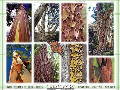Ornamental Eucalyptus Worldwide Bark GIT Forestry Consulting Eucaliptos Ornamentales Corteza por Gustavo Iglesias