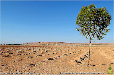 Eucalyptus planting Oujda Morocco Maroc Plantacion Eucalipto Marruecos Manfred Schwedan GIT Forestry Consulting Galicia España Spain