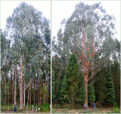Two forms of Eucalyptus delegatensis, Tasmanian Oak, growing in Galicia, Northwestern Spain. / GIT Forestry Consulting, Consultoría y Servicios de Ingeniería Agroforestal, Lugo, Galicia, España, Spain / Eucalyptologics, information resources on Eucalyptus cultivation around the world / Eucalyptologics, recursos de informacion sobre el cultivo del eucalipto en el mundo