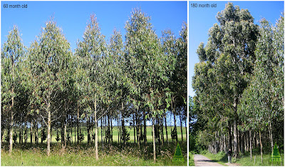 Cold hardy Eucalyptus nitens timber belt in Galicia, Northwestern Spain. GIT Forestry Consulting / Borduras arboladas de eucalipto de las heladas en Galicia, Noroeste de España / Diamter and crown shape in Eucalyptus nitens grown in low competence situations / Crecimiento en diametro y forma de copa en Eucalipto de las Heladas cultivado en situaciones de poca competencia / GIT Forestry Consulting