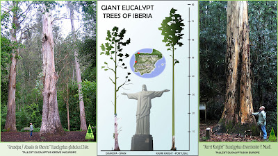 Giant Eucalyptus trees in Spain and Portugal: Karri Knight & Grandpa / Eucaliptos gigantes de España y Portugal: Caballero Karri & El Abuelo de Chavín / / Gustavo Iglesias Trabado / GIT Forestry Consulting, Consultoría y Servicios de Ingeniería Agroforestal, Galicia, España, Spain / Eucalyptologics, information resources on Eucalyptus cultivation around the world / Eucalyptologics, recursos de informacion sobre el cultivo del eucalipto en el mundo