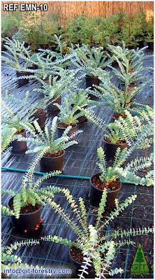 Cold Hardy Ornamental Eucalyptus for gardens in temperate climates / Eucalipto ornamental resistente a la helada para jardinería en climas templados / GIT Forestry Consulting, Galicia, España, Spain