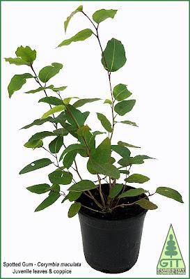 Corymbia maculata juvenile leaves / Eucalyptus maculata juvenile leaves / Spotted gum juvenile leaves / Eucalipto de Corteza de Arce, hoja juvenil / GIT Forestry Consulting, Galicia, Spain, España