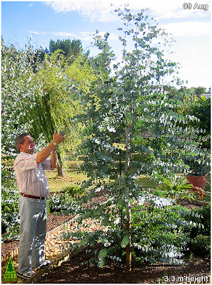 Pruning, Pollarding,Clipping Eucalyptus gunnii / Cider Gum / Cold Hardy Ornamental Eucalyptus for gardens in temperate climates / Poda y talla de eucalipto gunnii / Eucalipto de la sidra / Eucalipto ornamental resistente a la helada para jardinería en climas templados / Gustavo Iglesias Trabado, Roberto Carballeira Tenreiro, Javier Folgueira Lozano / GIT Forestry Consulting, Consultoría y Servicios de Ingeniería Agroforestal, Galicia, España, Spain / Eucalyptologics, information resources on Eucalyptus cultivation around the world / Eucalyptologics, recursos de informacion sobre el cultivo del eucalipto en el mundo