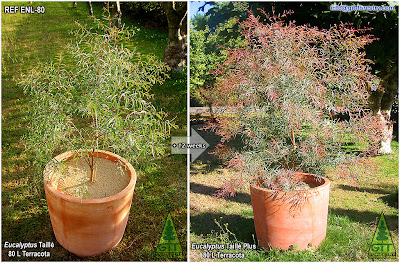 Cold Hardy Ornamental Eucalyptus for gardens in temperate climates / Eucalipto ornamental resistente a la helada para jardinería en climas templados / GIT Forestry Consulting, Galicia, España, Spain