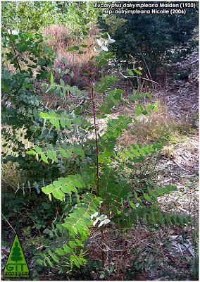 Seedling of cold hardy Eucalyptus dalrympleana in Galicia / Mountain White Gum / Planta de Eucalipto Blanco de Montaña (E. dalrympleana) en Galicia / GIT Forestry Consulting, Consultoría y Servicios de Ingeniería Agroforestal, España, Spain