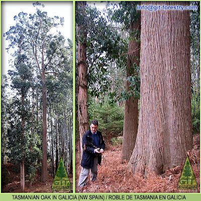 Tasmanian Oak Eucalyptus in Galicia, Northwestern Spain / Roble de Tasmania en Galicia, España / GIT Forestry Consulting, Consultoría y Servicios de Ingeniería Agroforestal