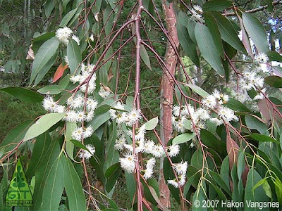 Eucalyptus dalrympleana flowers at 61ºN in Nautesund, Norway /Northernmost flowering eucalypt in the world / Eucalipto blanco de montaña floreciendo a 61ºN en Nautesund, Noruega / El eucalipto en flor más septentrional del mundo / Gustavo Iglesias Trabado, Roberto Carballeira Tenreiro, Javier Folgueira Lozano y Asociados / GIT Forestry Consulting SL, Consultoría y Servicios de Ingeniería Agroforestal, Lugo, Galicia, España, Spain / Eucalyptologics, information resources on Eucalyptus cultivation around the world / Eucalyptologics, recursos de informacion sobre el cultivo del eucalipto en el mundo