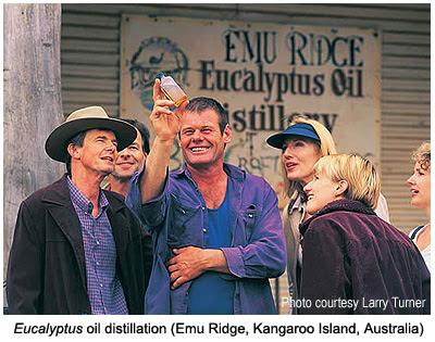 Eucalyptus in Australia: Essential oil at Emu Ridge, Kangaroo Island, Southern Australia / Eucalyptologics, on Sustainable Eucalyptus cultivation / Gustavo Iglesias Trabado, GIT Forestry Consulting, Consultoría y Servicios de Ingeniería Agroforestal, Galicia, Spain, España / Eucalyptologics: Recursos de Informacion sobre Cultivo Sostenible del Eucalipto en el Mundo