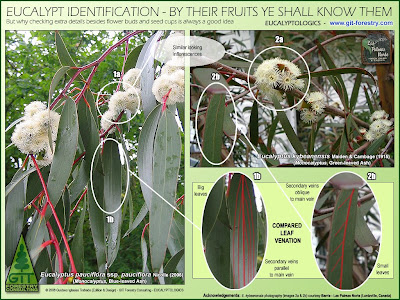 Eucalyptus species identification by botanical comparison of leaves, flower buds and fruits / Identificacion botanica de especies de eucalipto por comparacion de hojas flores y frutos / Eucalyptus kybeanensis, Kybean Mallee Ash / Gustavo Iglesias Trabado / GIT Forestry Consulting, Consultoría y Servicios de Ingeniería Agroforestal, Galicia, España, Spain / Eucalyptologics, information resources on Eucalyptus cultivation around the world / Eucalyptologics, recursos de informacion sobre el cultivo del eucalipto en el mundo
