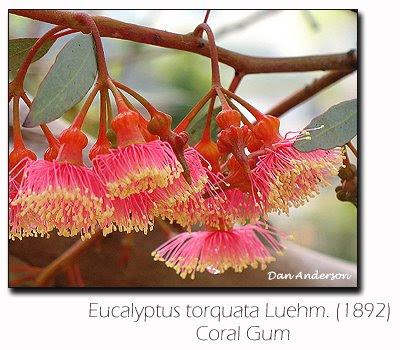 Eucalyptus torquata - Coral Gum - Eucalipto de Coral - by Dan Anderson / Gustavo Iglesias Trabado - GIT Forestry Consulting - Eucalyptologics: Information resources on Eucalyptus cultivation worldwide / Recursos de informacion sobre cultivo del eucalipto en el mundo