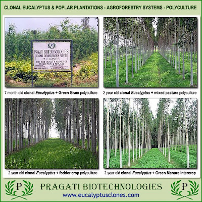Pragati Biotechnologies clonal Eucalyptus polyculture as agroforestry system in India / Policultivo de clones de Eucalyptus en sistema agroforestal, Pragati Biotech, India / Eucalyptologics, on Sustainable Eucalyptus cultivation / Gustavo Iglesias Trabado, GIT Forestry Consulting, Consultoría y Servicios de Ingeniería Agroforestal, Galicia, Spain, España / Eucalyptologics: Recursos de Informacion sobre Cultivo Sostenible del Eucalipto en el Mundo