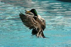 Bathing duck