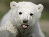 Osito Polar..!!