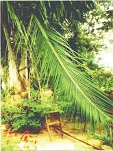corte da folha de coqueiro