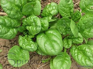 home-garden spinach lasagna roll-ups